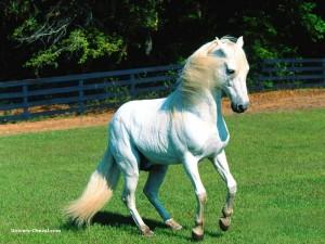 La Rubrique D'un Chat Cultivé #5 - Cheval dans La Rubrique D'Un Chat Cultivé cheval-blanc-300x225